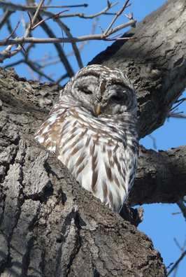 Barred Owl Lawrence Wade