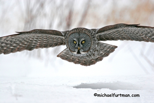 Great Gray Owl Michael Furtman