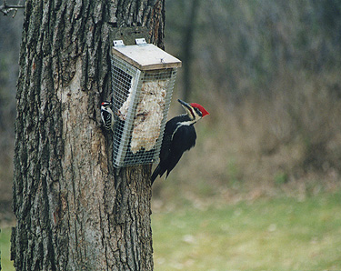 downy and pileated woodpecker
