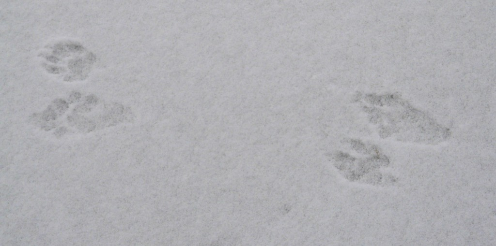 raccoon tracks in the snow