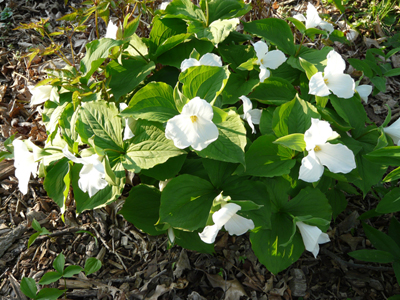 Trillium blooms in late April and May