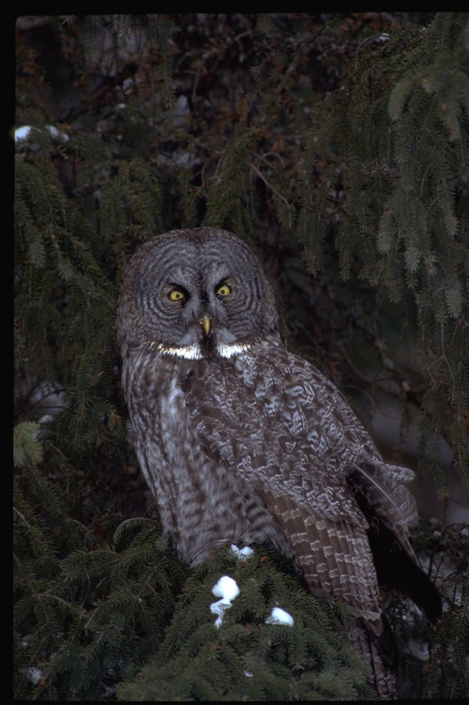 Great Gray Owl Dom Braud