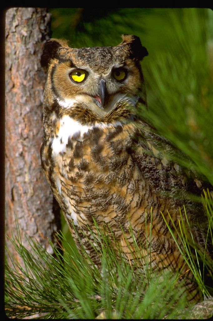 Great Horned Owl Dom Braud