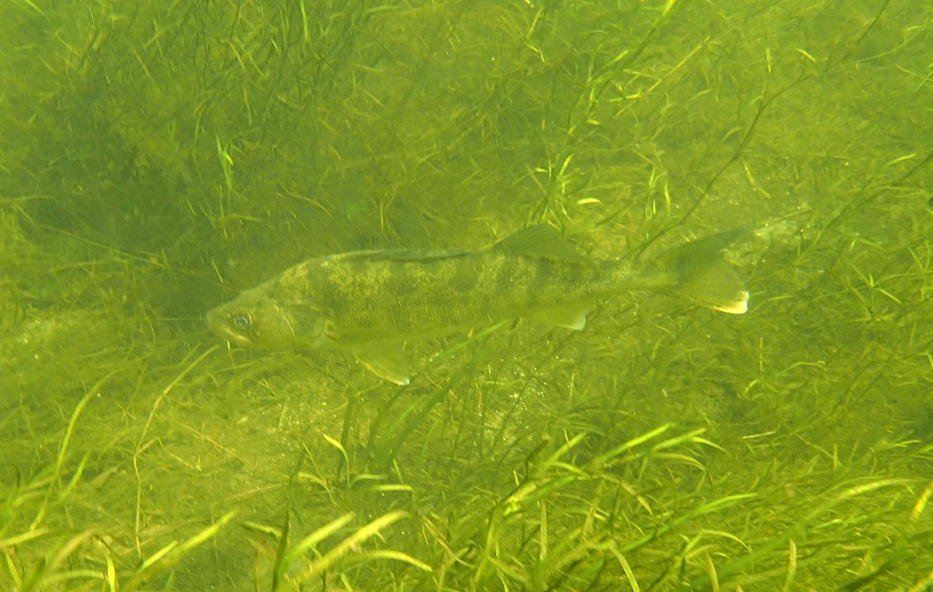 A large walleye