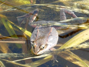A calling wood frog with inflated abdominal sacs.