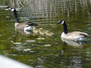 Goose family soon after hatching.