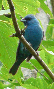 Indigo bunting calling in the woods.