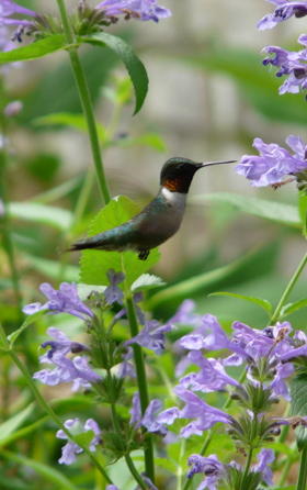 Male Ruby-throated Hummingbird feeding on Penstemon flowers.