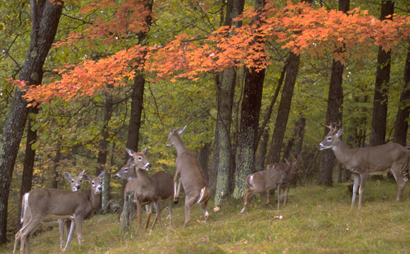 A Buck with a Family Group (Dominique Braud)