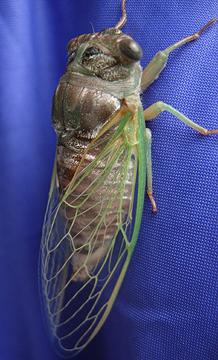 A newly hatched cicada.