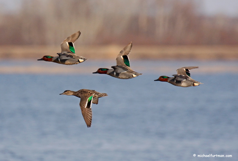 Green-winged Teal (Anas crecca).