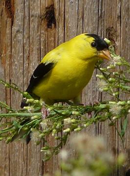 Goldfinch1Wade