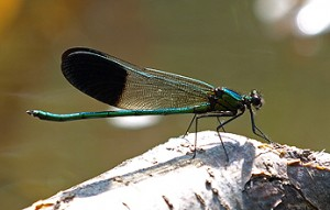 Jewel-wing Damselfly (Mike Farrell)