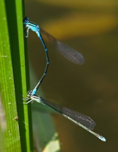 Mating Blue Darners (Mike Farrell)
