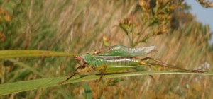 Male Meadow Grasshopper