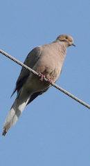 Mourning dove on the wire.
