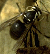 Queen bald-faced hornet