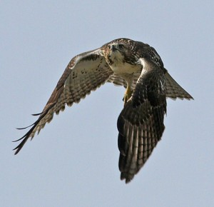 Red tail in flight (Mike Farrell)