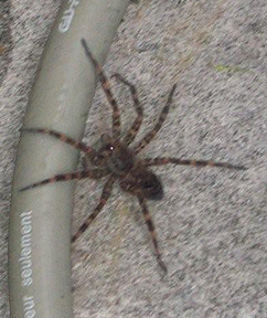 Wolf Spider (Meg Sheely)