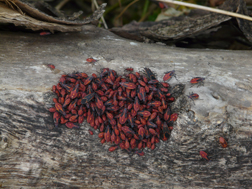 A late fall clump of box elder bugs.