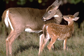 Doe and fawn together (Dominique Braud)