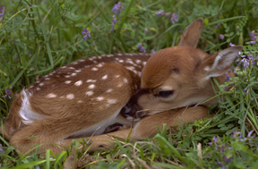 A newly born fawn (Dominique Braud)