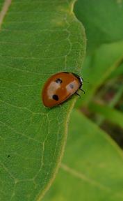 ladyBugBeetle