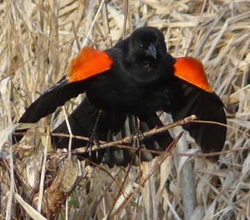 male red-wing blackbird calling in the marsh