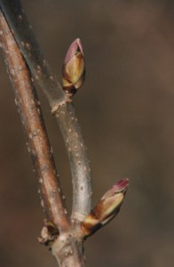 Red Elderberry buds