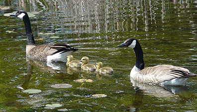 Young goslings protected my parents.