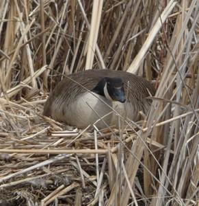 Canada goose nesting on muskrat hut.