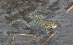Male leopard frog on patrol