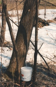 A box elder tree being tapped for sap.