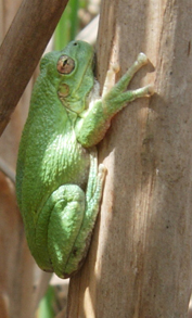 Gray tree frog resting on cattails (notice suction cup toes).