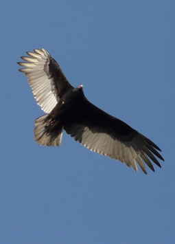 A soaring turkey vulture (photo by Mike Farrell)