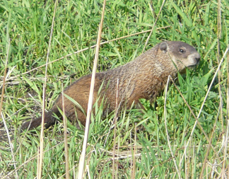 A groundhog feeding in early Spring.