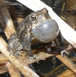 American toad calling in May.