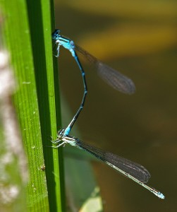 Mating Bluet (sp)  Mike Farrell