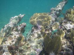 Elkhorn Coral, Yucatan Coast, Mexico (Aaron Wade)