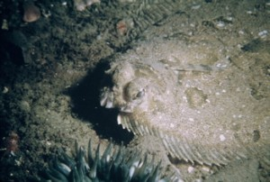 Flatfish close-up. Notice the stalked eyes (Western Marine Laboratory).