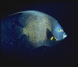 French Angelfish (Jane Ball)