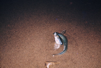 Female buried in the sand, with male surrounding her (Western Marine Lab)