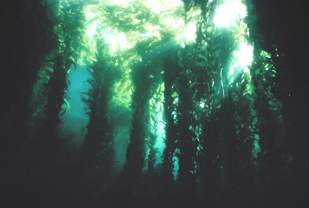Giant kelp forest (Western Marine Laboratories)