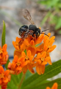 Long-Horned Bee (male) on butterfly weed