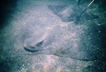 Manta ray buried in the sand ( Western Marine Laboratories)