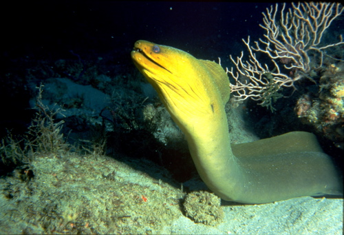 Moray Eel coming out of hole (Jane Ball)