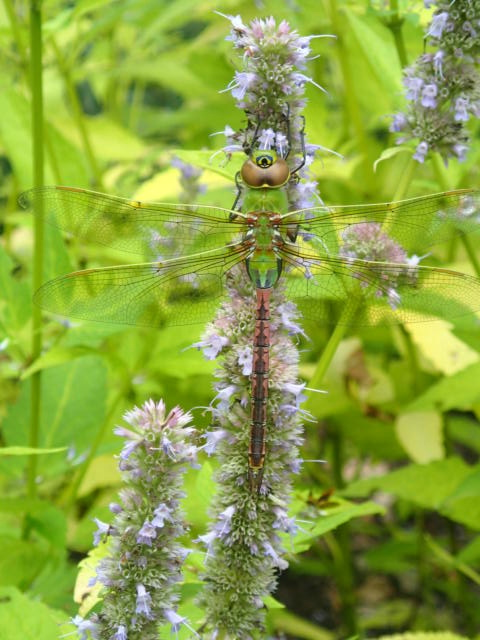 Green Darner (Lawrence Wade)