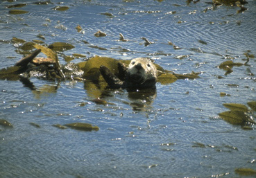 Sea otter in kelp, Monterey Bay, California (Lawrence Wade)