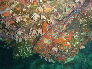 Spotted Grouper (Colin Anderson)