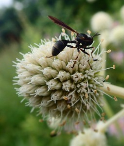 Thick-headed Fly on Rattlesnake Master